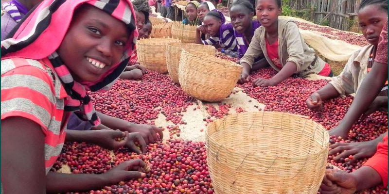 Где и как растет кофе –  все что вы хотели знать об этом
